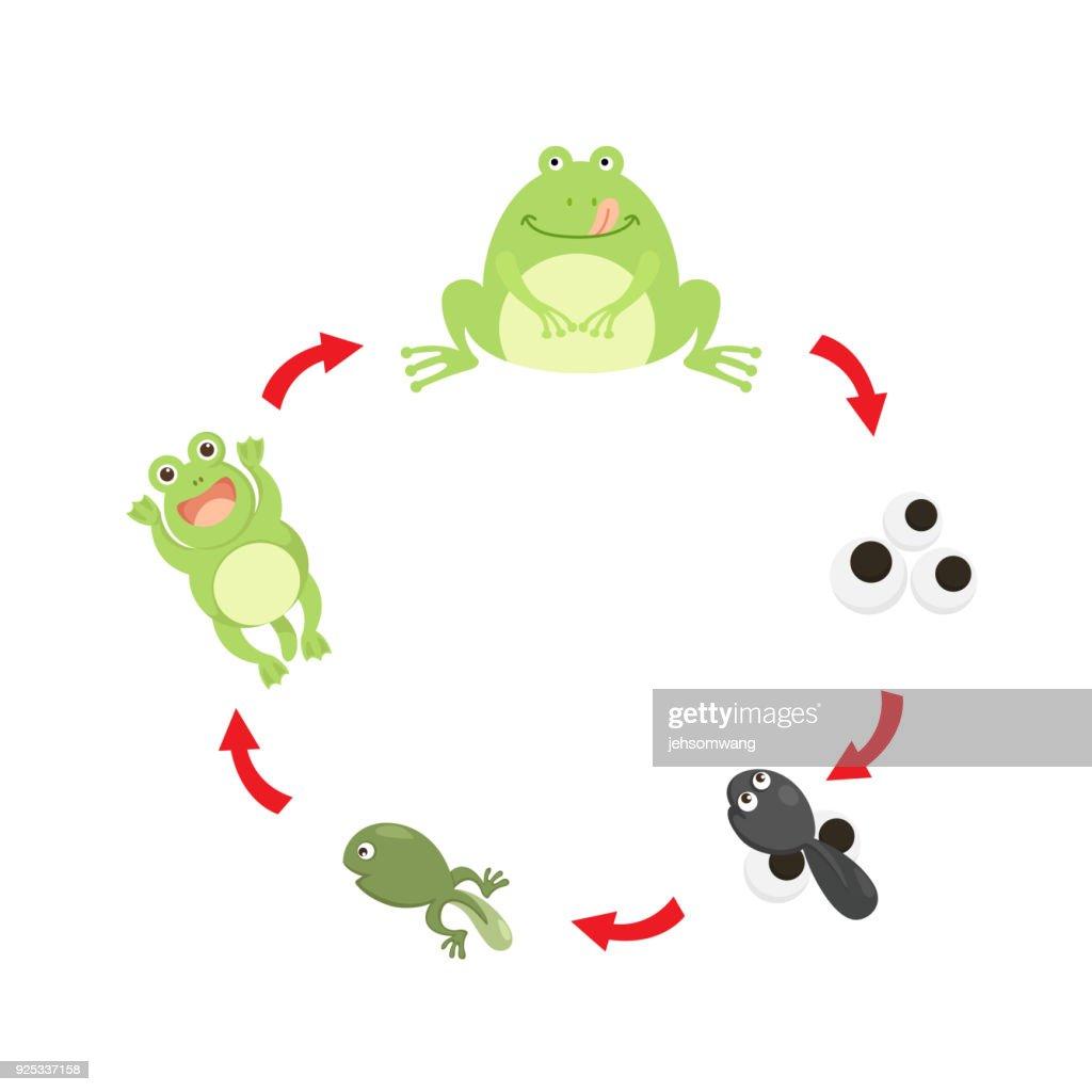 illustration life cycle frog