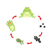 illustration life cycle frog