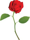 Illustration of a beautiful red rose