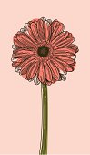 Illustration of a Gerbera daisy on a light pink background