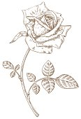 Illustration of a hand drawn rose isolated on white