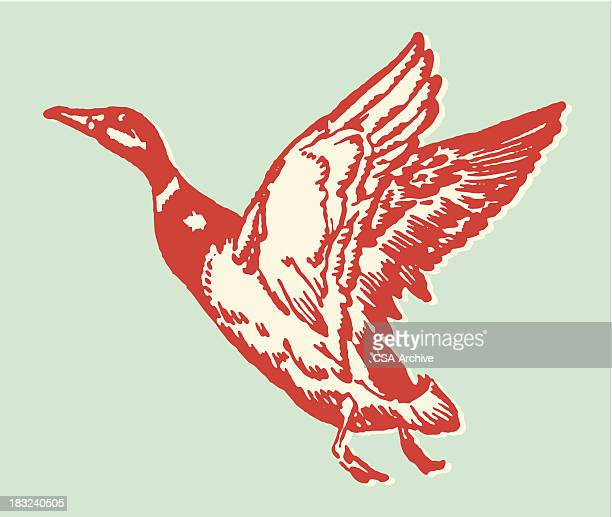 bildbanksillustrationer, clip art samt tecknat material och ikoner med illustration of a red duck in flight - duck