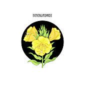 Illustration of evening primrose flower, vector