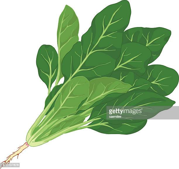 illustration of spinach with root against white background - spinach stock illustrations