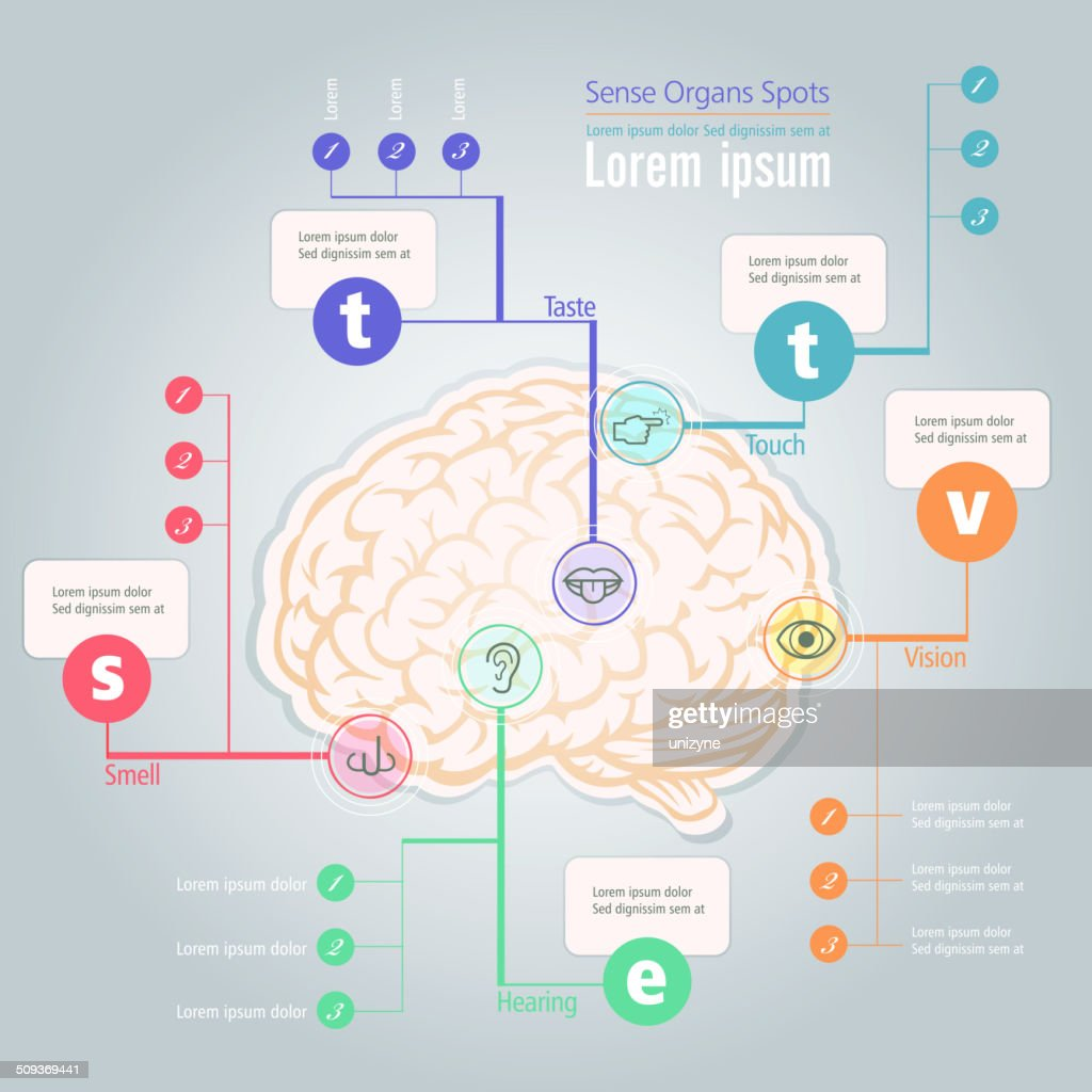 Info Graphic Of Sense Organs Spot In Human Brain Vector Art | Getty ...