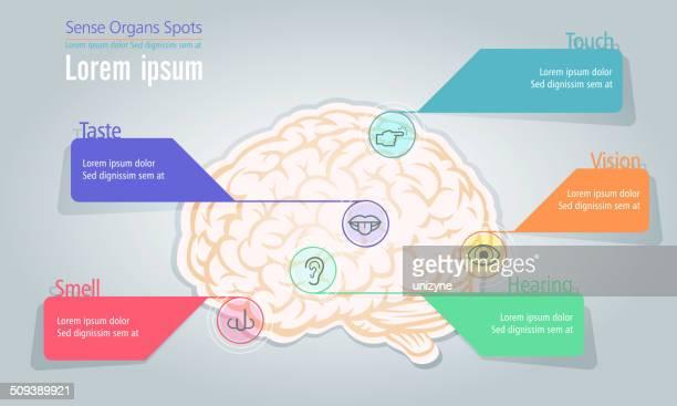 info graphic of sense organs spot in human brain - sensory perception stock illustrations
