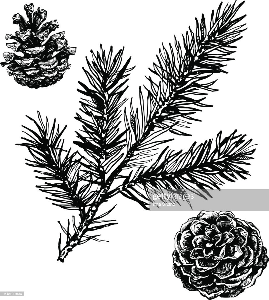 Ink illustration of pine cones and coniferous branch.