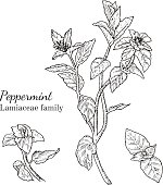 Ink peppermint hand drawn sketch