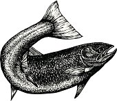 Ink sketch of salmon with curved tail