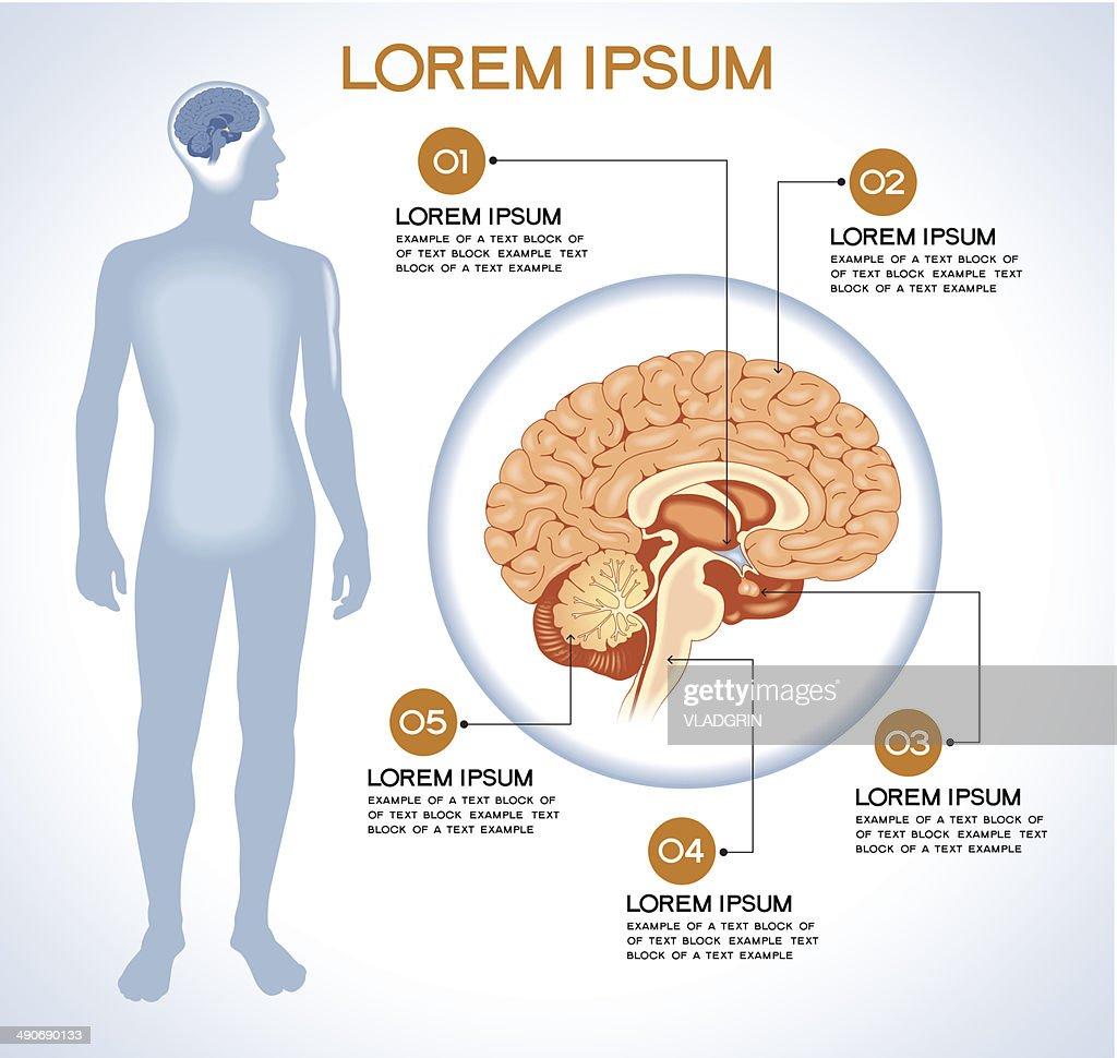 Internal human organ hypothalamus.