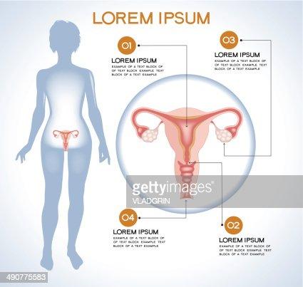 Interne Menschliche Organ Ovaries Vektorgrafik   Getty Images