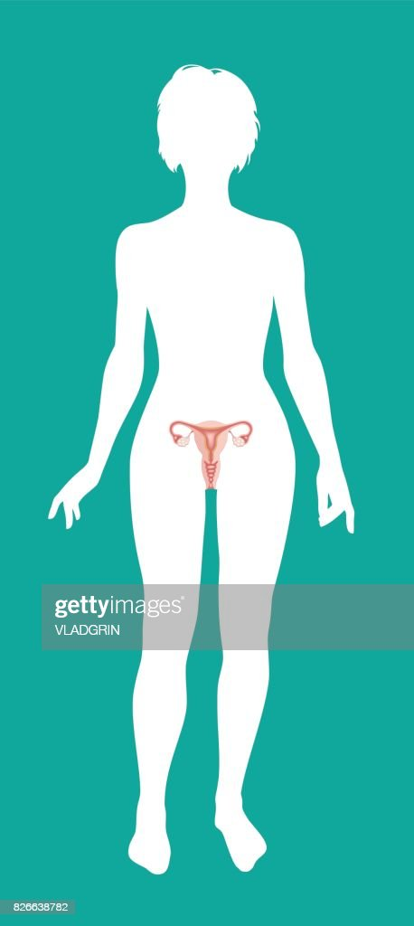 Internal human organ Ovaries