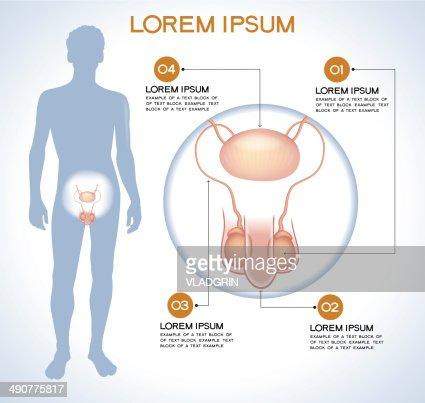 Interne Menschliche Organ Penis Und Testes Vektorgrafik   Getty Images