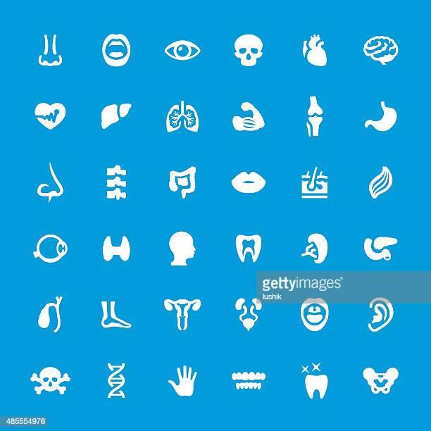 ilustrações, clipart, desenhos animados e ícones de órgão interno humano conjunto de ícones vetorizados - termo anatômico