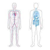 internal organs and circulatory system
