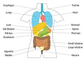 Internal organs chart - schematic anatomy diagram with colored organs and appropriate names - isolated vector illustration on white background.