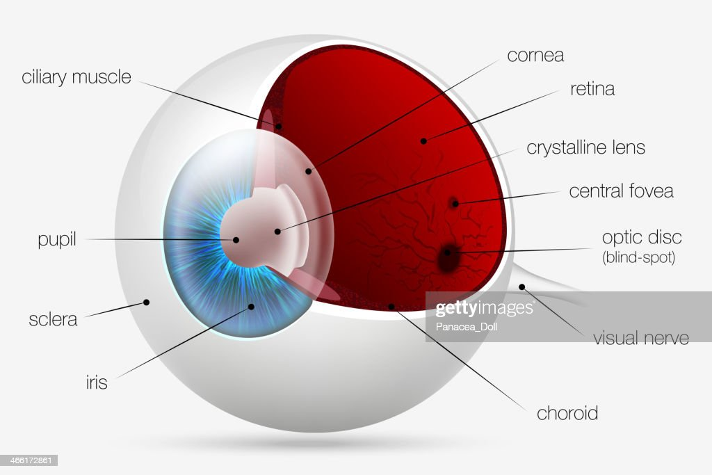 internal structure of the human eye