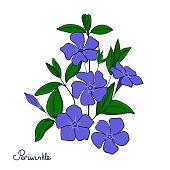 Isolated decorative element periwinkle bouquet. Blue flowers vinca.