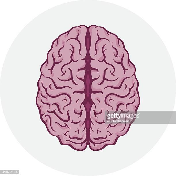 isolated human brain - cerebral hemisphere stock illustrations, clip art, cartoons, & icons