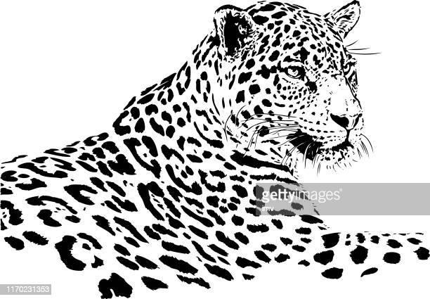 ilustraciones, imágenes clip art, dibujos animados e iconos de stock de retrato de jaguar en blanco y negro - jaguar