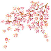 Japanese maple (Acer palmatum, fullmoon maple) branch with red falling leaves.