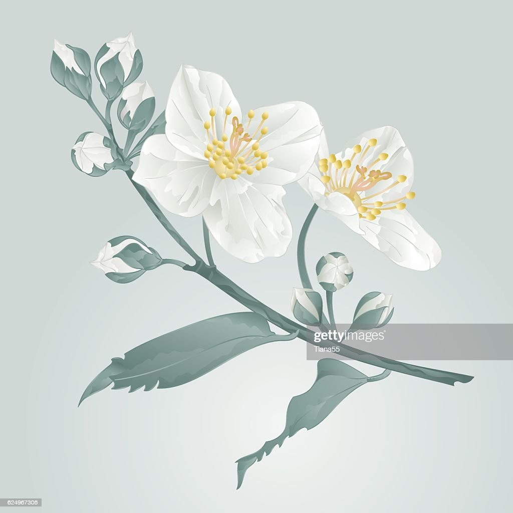 Jasmine Flower And Buds Vintage Vector Vector Art Getty Images