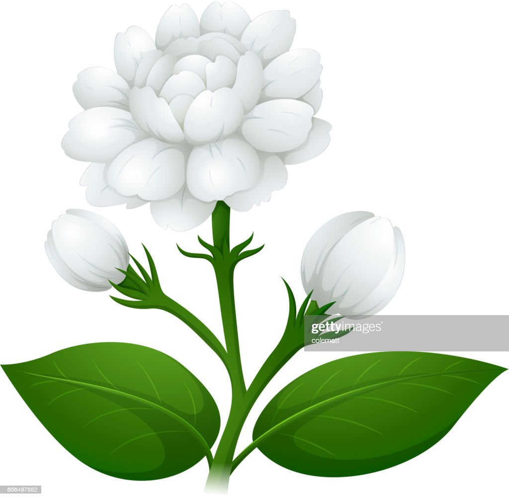 Jasmine flower on green stem vector art getty images jasmine flower on green stem vector art izmirmasajfo