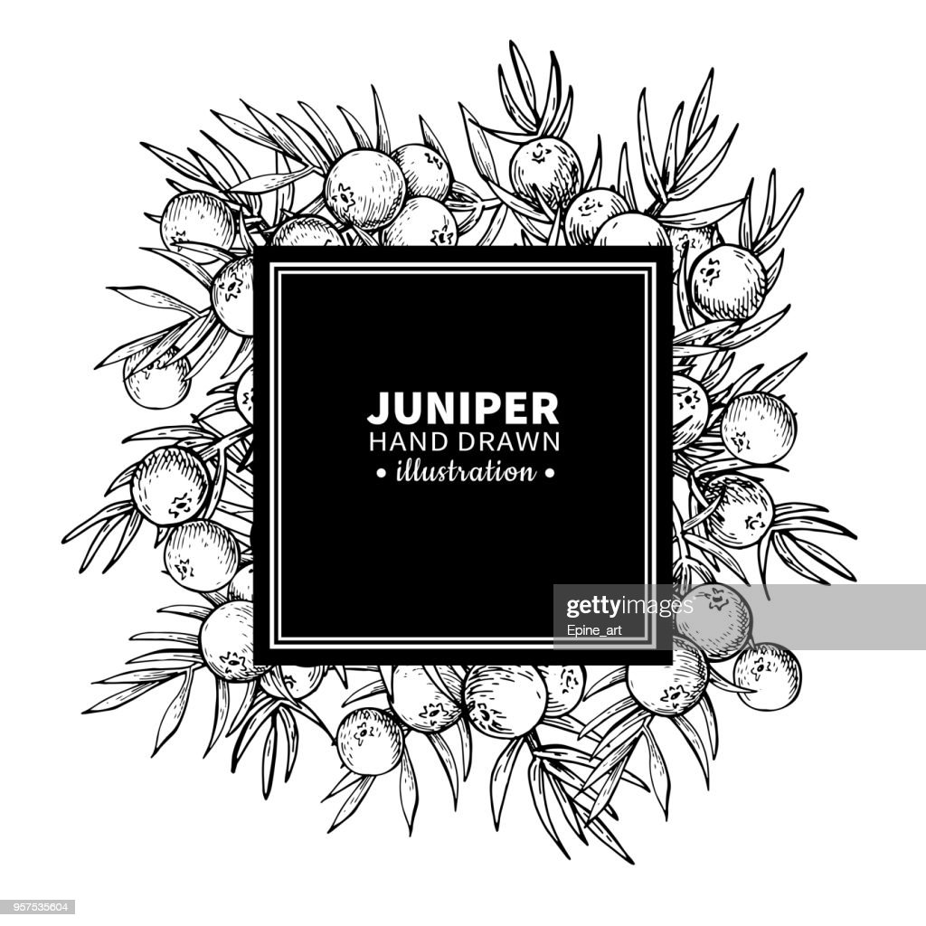Juniper vector drawing frame. Isolated vintage  template of berr