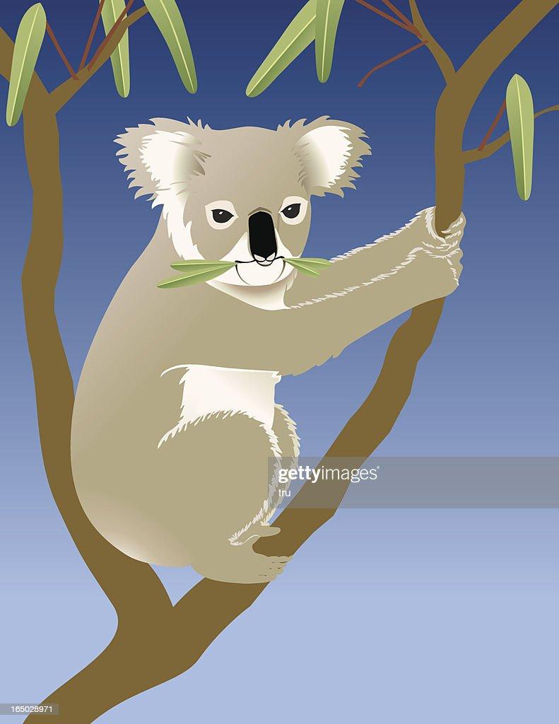 Koala eating eucalyptus in a tree