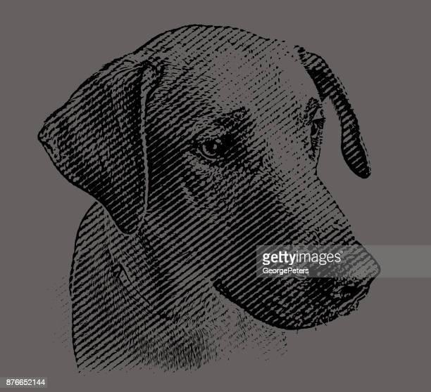 Labrador Retriever mix dog waiting to be adopted
