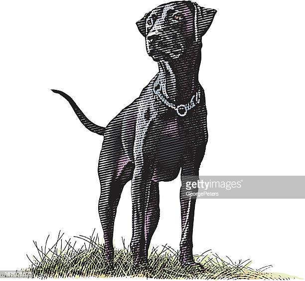 labrador retriever - labrador retriever stock illustrations