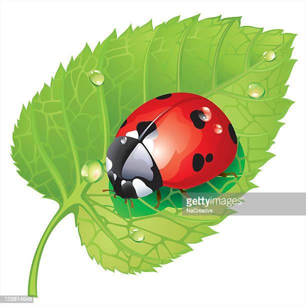 illustrations, cliparts, dessins animés et icônes de coccinelles sur feuilles - coccinelle