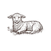Lamb farm animal sketch, isolated lamb mammal on the white background. Vintage style