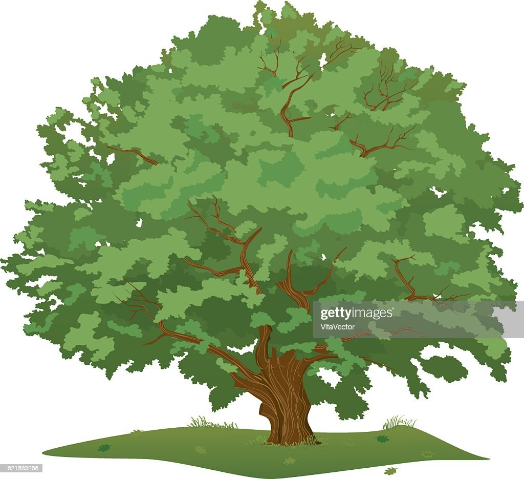 Large Green Oak Tree, Colored Vector Illustration, isolated on background.