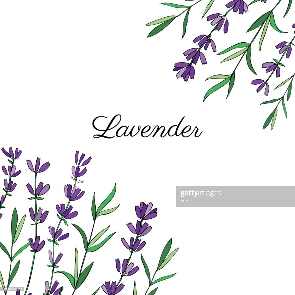 Lavender flowers, leaves hand drawn colorful doodle vector, decorative frame isolated on white, herbal vintage graphic border, design for package tea, natural organic cosmetic, greeting card