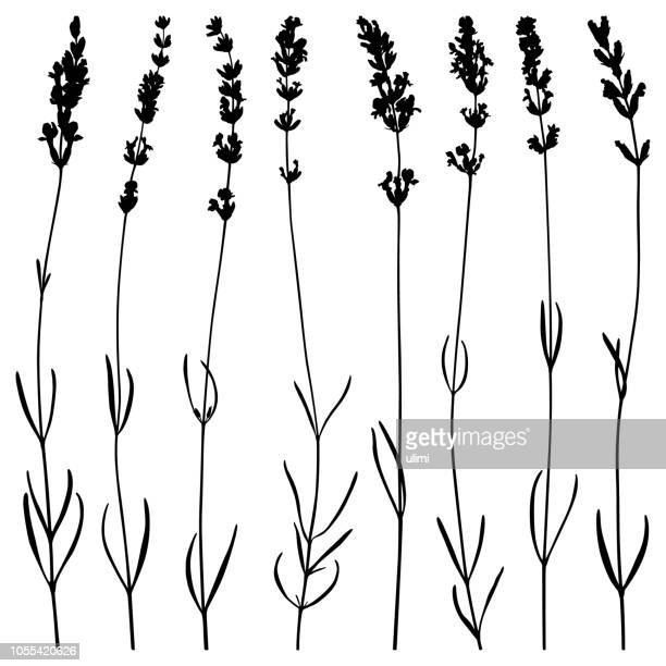 lavender flowers, vector silhouettes - herbal medicine stock illustrations