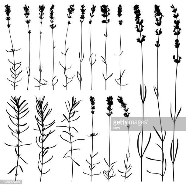 ラベンダー色の花、ベクター シルエット