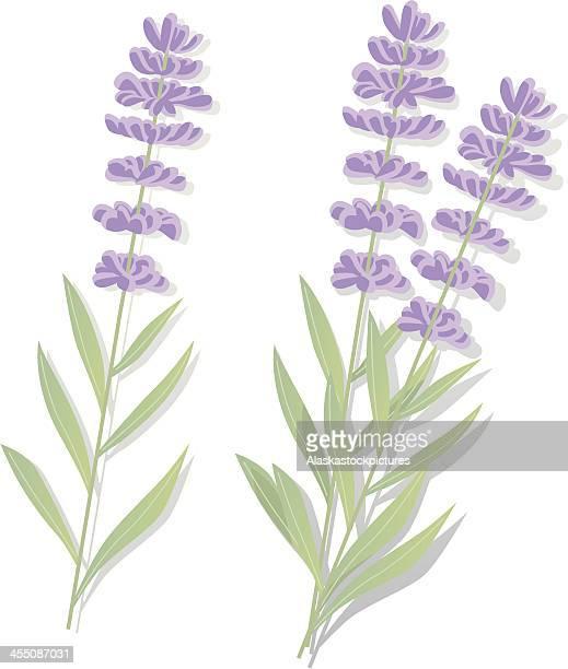 ilustraciones, imágenes clip art, dibujos animados e iconos de stock de lavenderflowers - lavanda