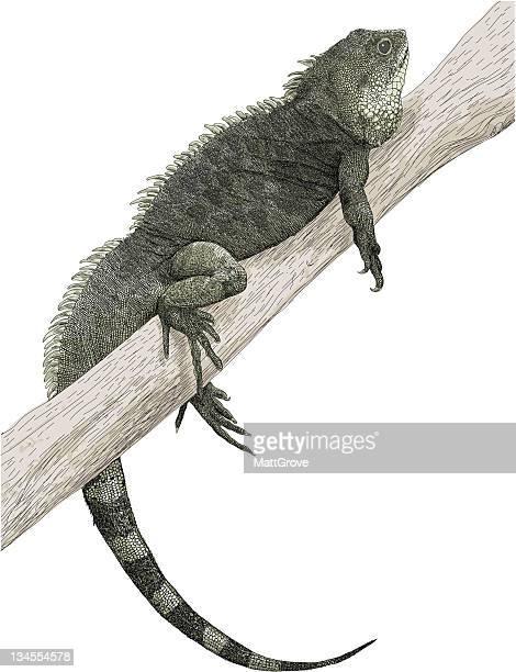 ilustraciones, imágenes clip art, dibujos animados e iconos de stock de iguana manso - iguana