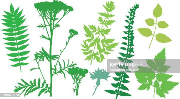 leafshapes_0030 - tansy stock illustrations