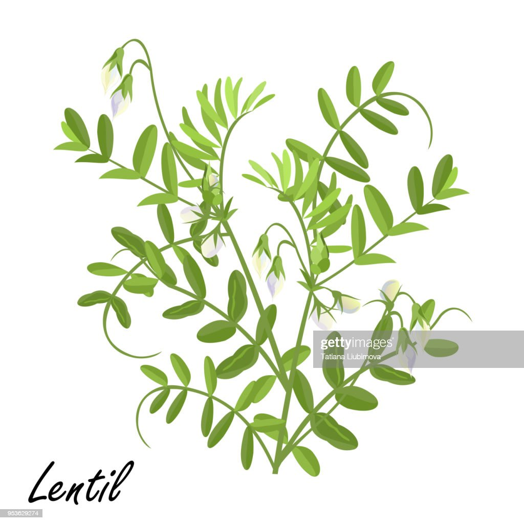 Lentil  plant (Lens culinaris) with flowers, vector illustration.
