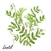 Lentil  plant (Lens culinaris) with flowers, vector illustration.