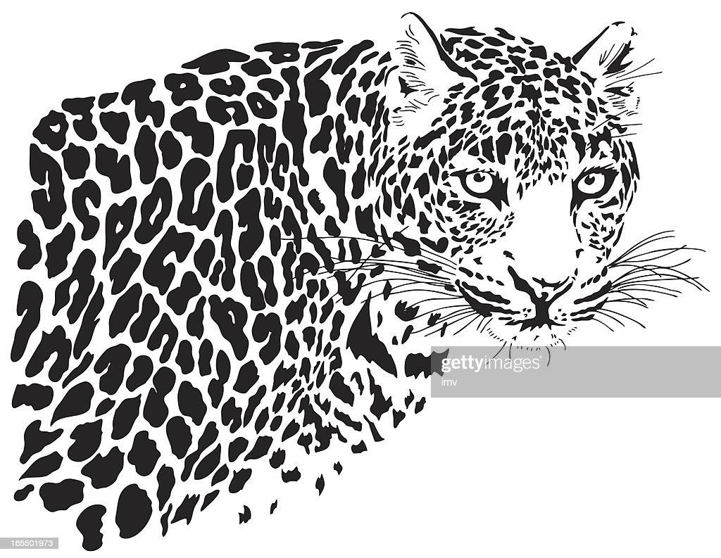 Leopard illustration (Panthera pardus)