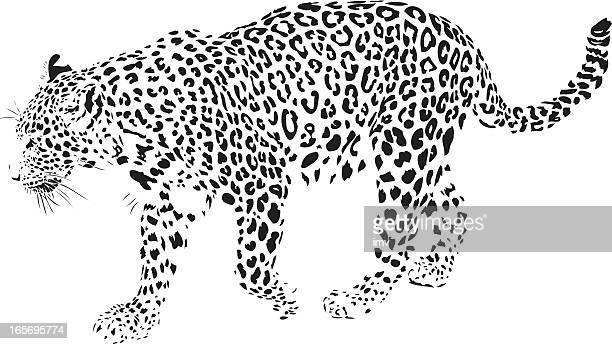 leopard illustration (panthera pardus) - animal whisker stock illustrations