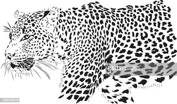ilustraciones, imágenes clip art, dibujos animados e iconos de stock de leopardo ilustración (panthera pardus) - leopardo