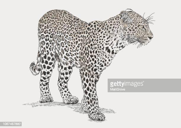1 220 Iillustrations Cliparts Dessins Animes Et Icones De Leopard Getty Images