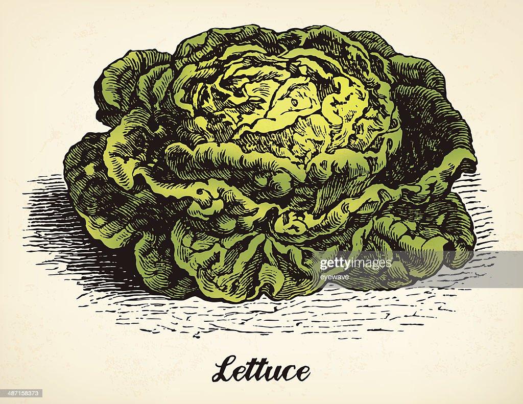 Lettuce vintage illustration vector