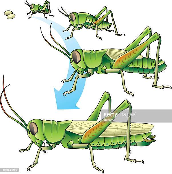 Life cycle of a grasshopper