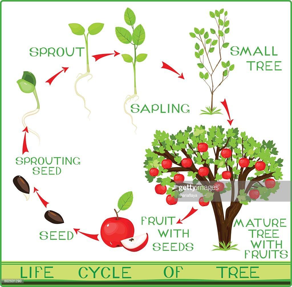life cycle of apple tree