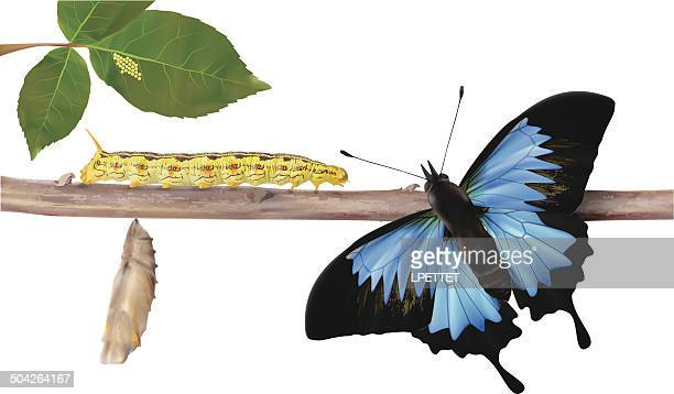 life cycle of butterflies - vector illustration - life cycle stock illustrations